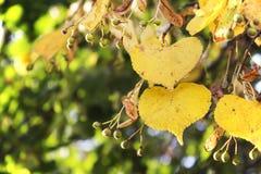 El amarillo se va, dando vuelta amarillo en tilo del otoño en el contraluz Imágenes de archivo libres de regalías
