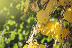 El amarillo se va, dando vuelta amarillo en tilo del otoño en el contraluz Fotografía de archivo libre de regalías