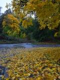 El amarillo se va en el asfalto mojado en el día lluvioso del otoño Imagen de archivo