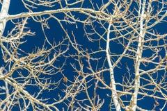 El amarillo se va en el árbol blanco con el cielo azul Fotos de archivo libres de regalías