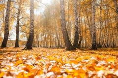 El amarillo se va en el bosque del otoño en el día soleado Imagen de archivo