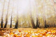 El amarillo se va en el bosque del otoño en un día de niebla Imagen de archivo libre de regalías