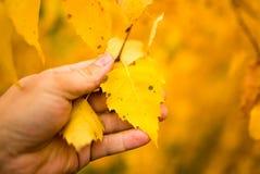 El amarillo se va en un árbol de abedul en una mano Fotos de archivo libres de regalías