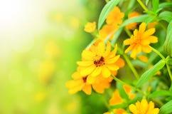 El amarillo soleado florece el fondo Fotografía de archivo