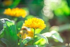 El amarillo suave del foco florece hermoso Fotos de archivo libres de regalías
