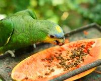 El Amazonas Azul-afrontado Imagen de archivo