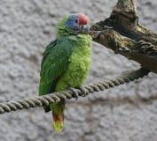 el Amazonas Rojo-atado - brasiliensis del Amazona Fotografía de archivo