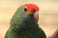 el Amazonas Rojo-cejudo Imagenes de archivo