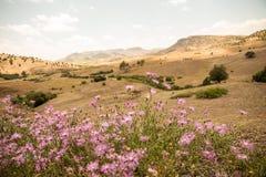 El amberboa rosado florece delante de una escena del desierto de la montaña en Morroco en tiempo de primavera Imagen de archivo