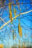 El amento del árbol de abedul florece en luz del sol en primavera Imagenes de archivo