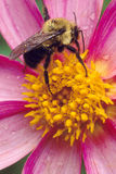 El americano manosea la abeja en la flor rosada fotografía de archivo