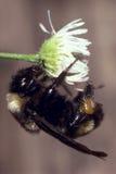 El americano manosea la abeja en margarita Imágenes de archivo libres de regalías
