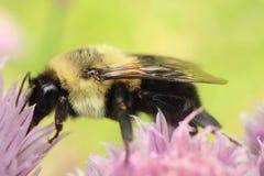 El americano manosea la abeja que forrajea en un flor de la cebolleta fotografía de archivo