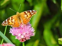 El americano pintó la señora o el virginiensis americano de señora Vanesa que recolectaba el néctar en las flores de la cebolleta Foto de archivo