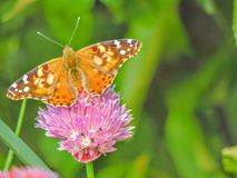 El americano pintó la señora o el virginiensis americano de señora Vanesa que recolectaba el néctar en las flores de la cebolleta Imágenes de archivo libres de regalías