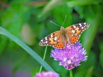 El americano pintó la señora o el virginiensis americano de señora Vanesa que recolectaba el néctar en las flores de la cebolleta Imagen de archivo
