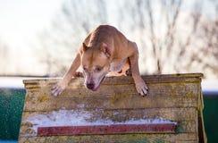 El americano Pit Bull Terrier salta sobre un obstáculo imagenes de archivo