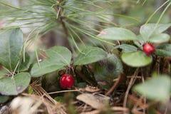 El americano wintergreen fotos de archivo