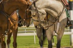 El amor de caballos Fotografía de archivo libre de regalías