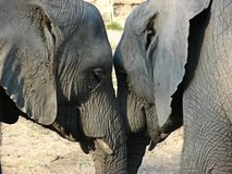 El amor de los elefantes Fotos de archivo
