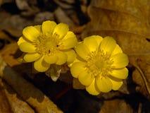 El amurensis de Adonis de la flor del resorte Fotos de archivo libres de regalías