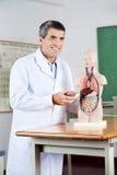 El analizar de profesor Looking Away While anatómico Foto de archivo libre de regalías