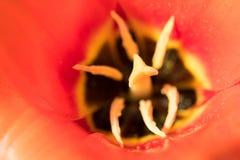 El ` anaranjado del emperador del ` del Tulipa florece en la floración en sol de la primavera fotografía de archivo libre de regalías
