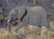 El andar a trancos del elefante imágenes de archivo libres de regalías