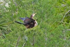 El anhinga es fiel a su socio que forma una unión monógama que pueda durar varios años imagen de archivo libre de regalías