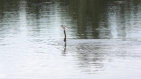 El Anhinga nada con un pescado almacen de video