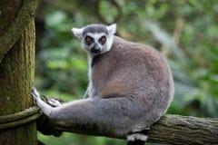 El anillo ató el lémur, catta del lémur, sentándose en el árbol que tomaba un resto y wathing con interés imagen de archivo