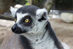 El anillo ató el lémur en un parque del safari en Bangkok imagenes de archivo