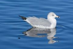 El anillo cargó en cuenta la natación del pájaro de la gaviota imagen de archivo libre de regalías