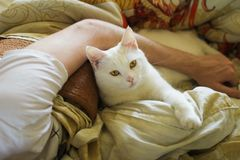 el animal, animal doméstico, gato, blanco, cama, lecho, mano, sirve la mano, abrazo, serio, escolta Imágenes de archivo libres de regalías