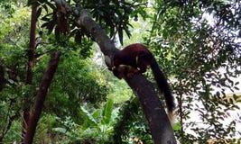 el animal del estado de la ardilla del gigante de MaharashtraMalabar foto de archivo