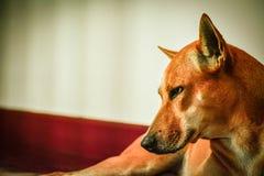El animal doméstico es falta usted dueño Foto de archivo