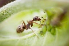 El animal, hormiga, antenas, áfido, garras, criatura, pasta, se pone verde, insecto, hoja, macro, ordeña el áfido, naturaleza, pl imagenes de archivo