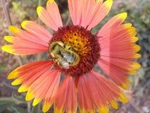 El animal, otoño, hermoso, belleza, abeja, flor, manosea, abejorro, primer, color, colorido, floral, flor, flores, jardín, gre Fotos de archivo libres de regalías