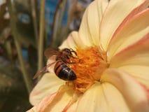 El animal, otoño, hermoso, belleza, abeja, flor, manosea, abejorro, primer, color, colorido, floral, flor, flores, jardín, gre Imagenes de archivo