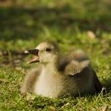 El ansarón del ganso de ganso silvestre (anser del Anser) llama a la madre Fotos de archivo