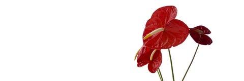 El Anthurium florece 1200x400 Fotografía de archivo