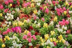 El antirrino colorido asombroso florece antirrino en jardín Foto de archivo