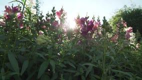 El antirrino multicolor crece en vídeo de la cantidad de la acción del jardín almacen de video