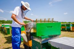 El Apiarist, apicultor está comprobando abejas en marco de madera del panal Imágenes de archivo libres de regalías