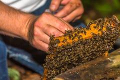 El apicultor coge a la reina de la abeja para marcar con etiqueta Foto de archivo