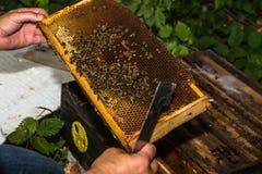 El apicultor comprueba el panal Imagen de archivo libre de regalías