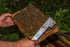 El apicultor comprueba el panal quitado de la colmena Imagen de archivo libre de regalías