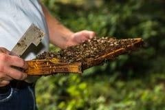 El apicultor con la herramienta de la colmena en la mano, hace un inspectio de la colmena Fotografía de archivo libre de regalías