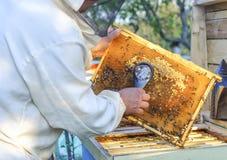 El apicultor considera abejas en panales con una lupa Fotos de archivo libres de regalías