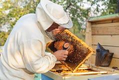 El apicultor considera abejas en panales con una lupa Foto de archivo